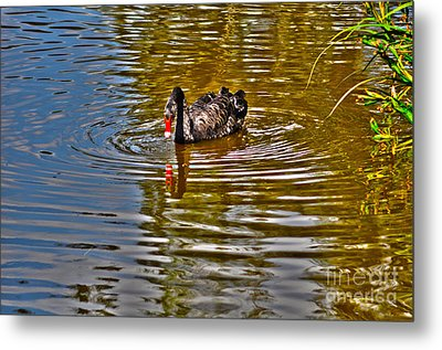 Black Swan On Pond Metal Print by Joanne Kocwin