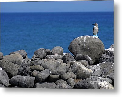 Blue-footed Booby On A Rock By Ocean Metal Print by Sami Sarkis