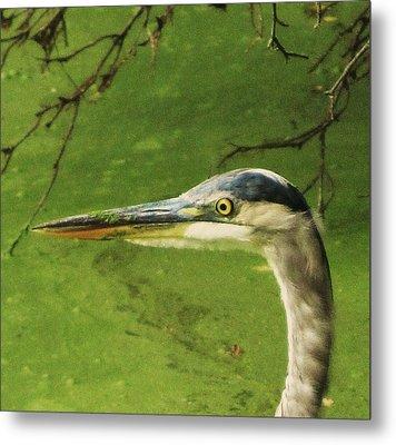 Blue Heron Metal Print by Todd Sherlock