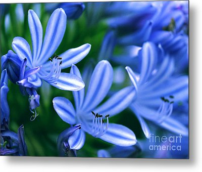 Blue Lily Of The Nile Metal Print by Sabrina L Ryan