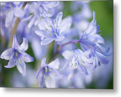 Bluebells Metal Print by Nick Dolding