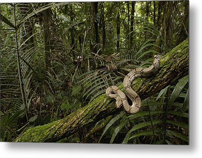 Boa Constrictor Boa Constrictor Coiled Metal Print by Pete Oxford