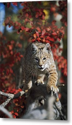 Bobcat Felis Rufus Walks Along Branch Metal Print by David Ponton