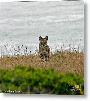 Bodega Bay Bobcat Metal Print by Mitch Shindelbower
