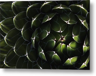 Bolivian Plant In Late Afternoon Light Metal Print by Robert Postma