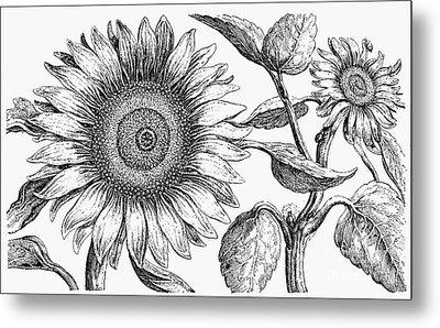 Botany: Sunflower Metal Print by Granger