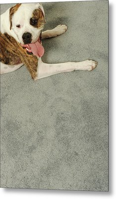 Boxer Dog Lying On Carpet, Overhead View Metal Print by Dtp
