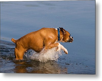Boxer Playing In Water Metal Print by Stephanie McDowell