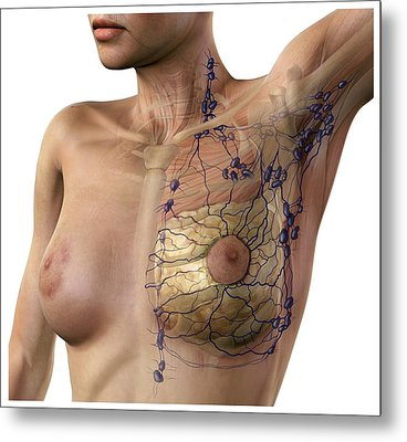 Breast Lymphatic System, Artwork Metal Print by D & L Graphics