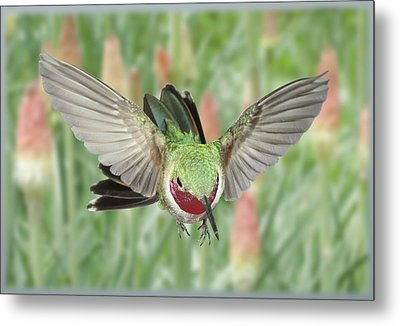 Broadtail Hummingbird Male And Red Hot Poker Metal Print by Gregory Scott