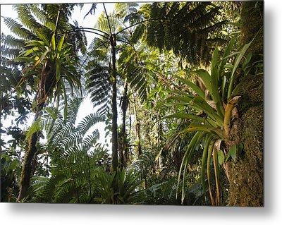 Bromeliad And Tree Ferns  Metal Print by Cyril Ruoso