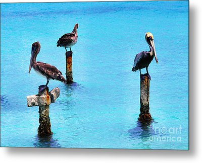 Brown Pelicans In Aruba Metal Print by Thomas R Fletcher