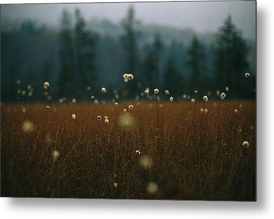 Browned Autumn Field Of Cotton Grass Metal Print by Raymond Gehman