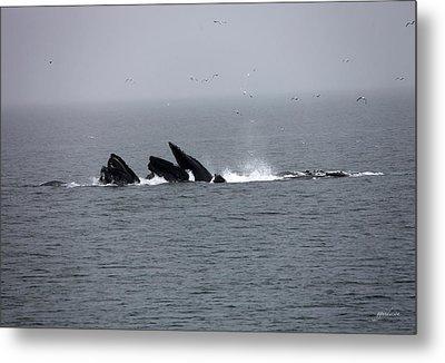 Bubble Netting Whales In Alaska Metal Print by Gary Gunderson