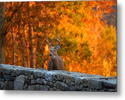 Buck In The Fall 01 Metal Print by Metro DC Photography