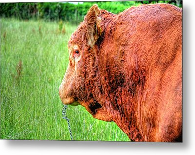 Bull Metal Print by Barry R Jones Jr