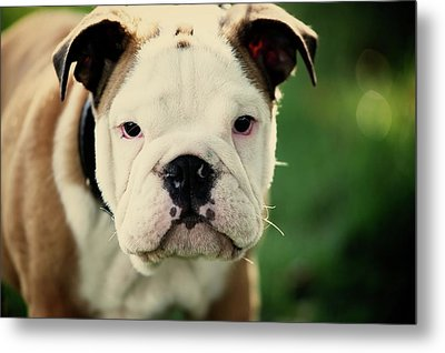 Bull Dog Metal Print by Muoo Photography