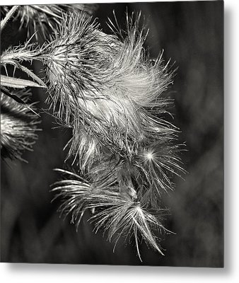Bull Thistle Monochrome Metal Print by Steve Harrington
