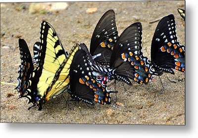 Butterflies By The Buches Metal Print by Marty Koch