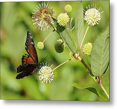 Butterfly Metal Print by Keith Lovejoy