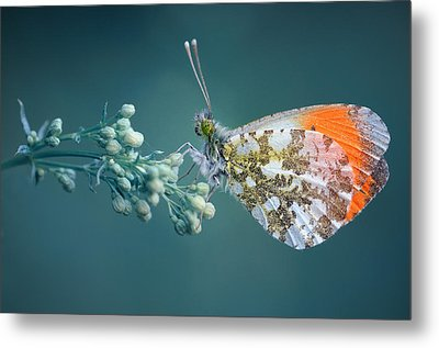 Butterfly On Blue Background Metal Print by GilG Photographie