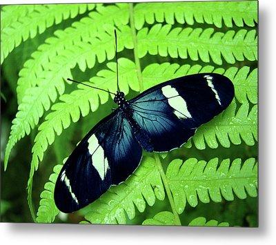 Butterfly On Leaf. Metal Print by Kryssia Campos