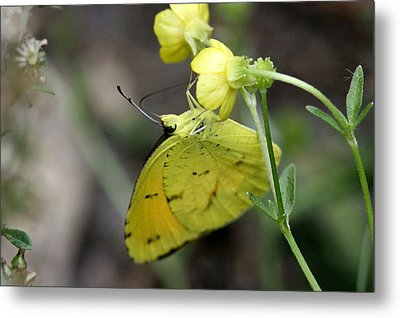 Butterfly - Yellow Sulphur On Yellow Metal Print by Travis Truelove