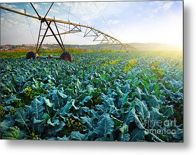 Cabbage Growth Metal Print by Carlos Caetano