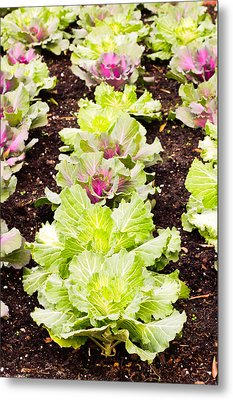 Cabbages Metal Print by Tom Gowanlock