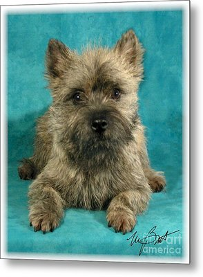 Cairn Terrier Pup Metal Print by Maxine Bochnia