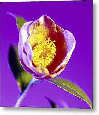 Camellia Flower (camellia Sp.) Metal Print by Johnny Greig