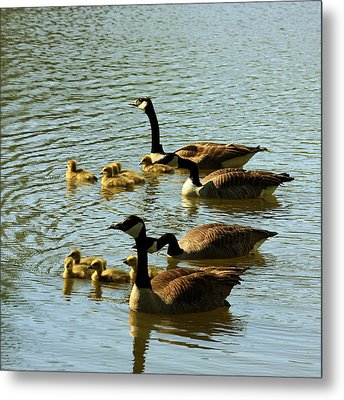 Canada Geese Families Metal Print by Mark Codington