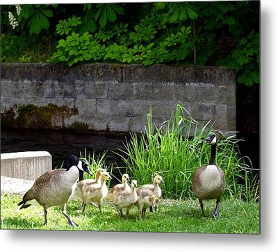 Canada Geese With Goslings Metal Print by Will Borden