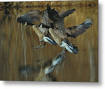 Canada Goose Trio Landing - C0843m Metal Print by Paul Lyndon Phillips