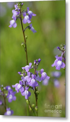 Canada Toadflax Metal Print by Don Youngclaus
