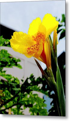 Canna Yellow Flowers. Metal Print by Pitakpong Chansri