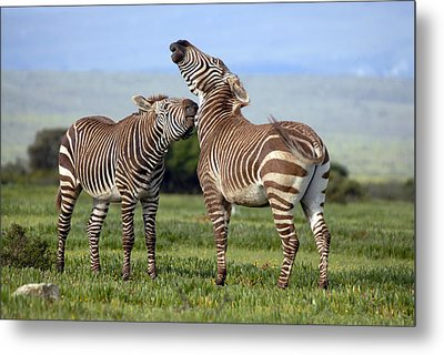 Cape Mountain Zebra Stallions Sparring Metal Print by Peter Chadwick