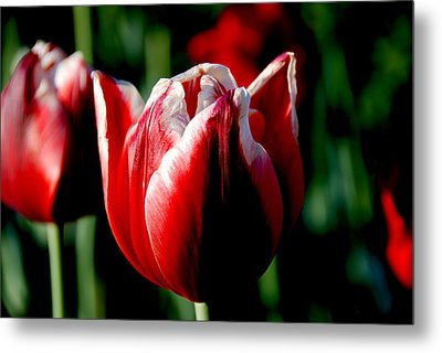 Capital Tulip Metal Print by Christy Phillips