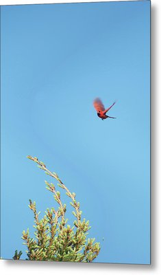 Cardinal In Full Flight Digital Art Metal Print by Thomas Woolworth