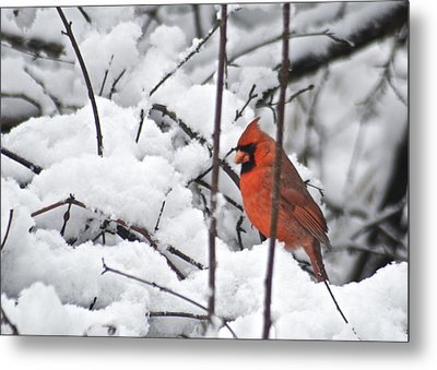 Cardinal Male 3669 Metal Print by Michael Peychich
