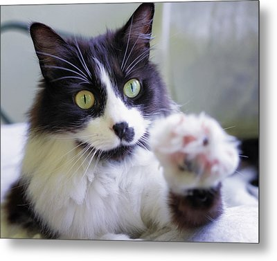 Cat Reaches For Camera Metal Print by Lori Coleman