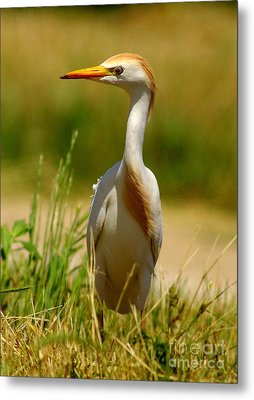 Cattle Egret With Closed Eyelid Metal Print by Robert Frederick