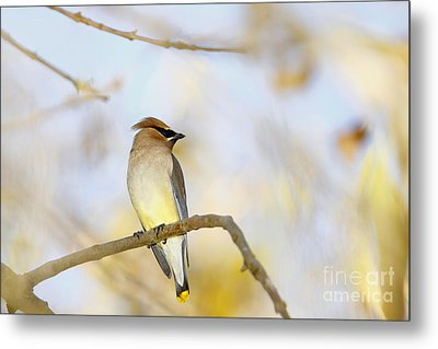 Cedar Waxwing On Yellow And Blue Metal Print by Susan Gary