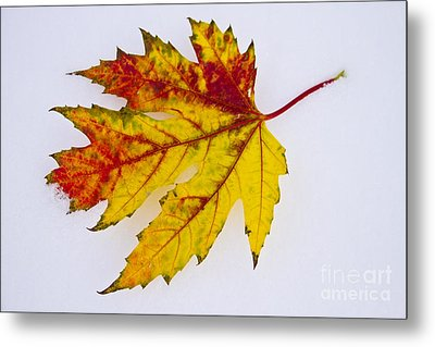 Changing Autumn Leaf In The Snow Metal Print by James BO  Insogna