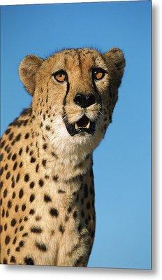 Cheetah Acinonyx Jubatus Portrait Metal Print by Ingo Arndt