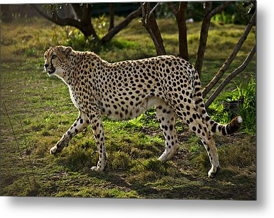 Cheetah  Metal Print by Garry Gay