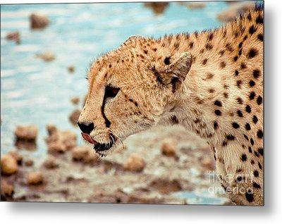 Cheetah Headshot Metal Print by Darcy Michaelchuk