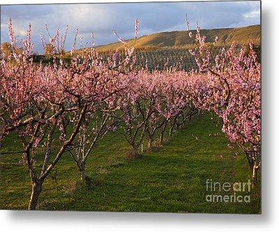Cherry Blossom Pink Metal Print by Mike  Dawson