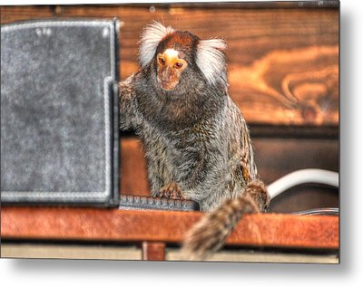 Chewy The Marmoset Metal Print by Barry R Jones Jr