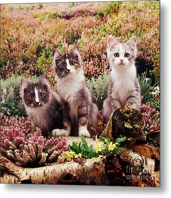 Chinchilla-cross Kittens Metal Print by Jane Burton